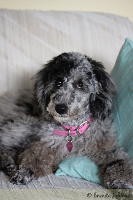 Xena the Poodle Puppy