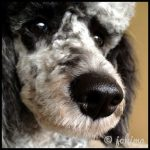photo of black merle moyen poodle