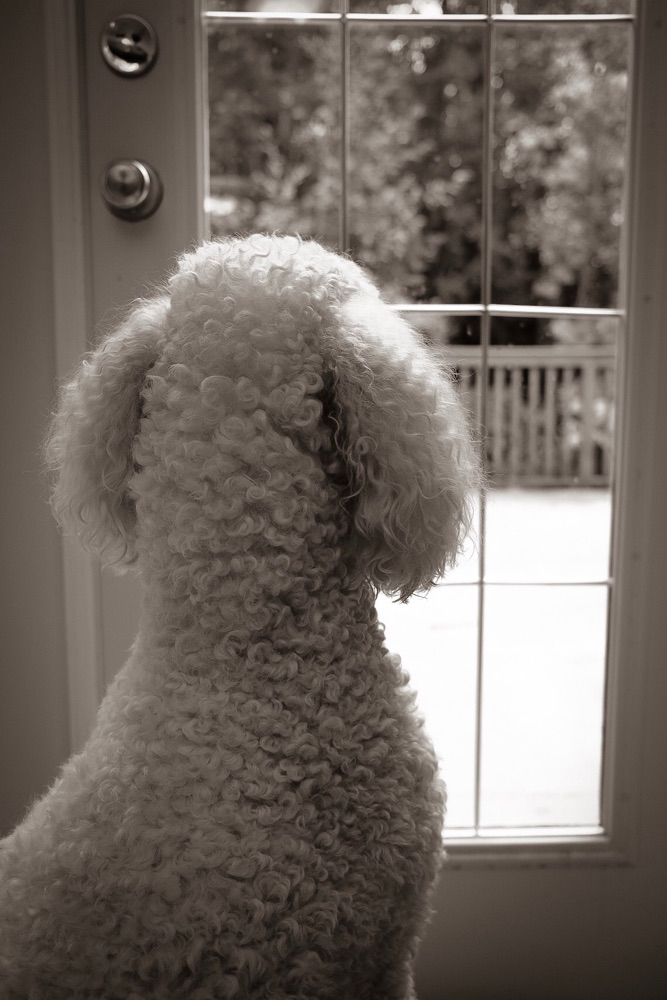 standard poodle looking out of french door windows on a rainy day