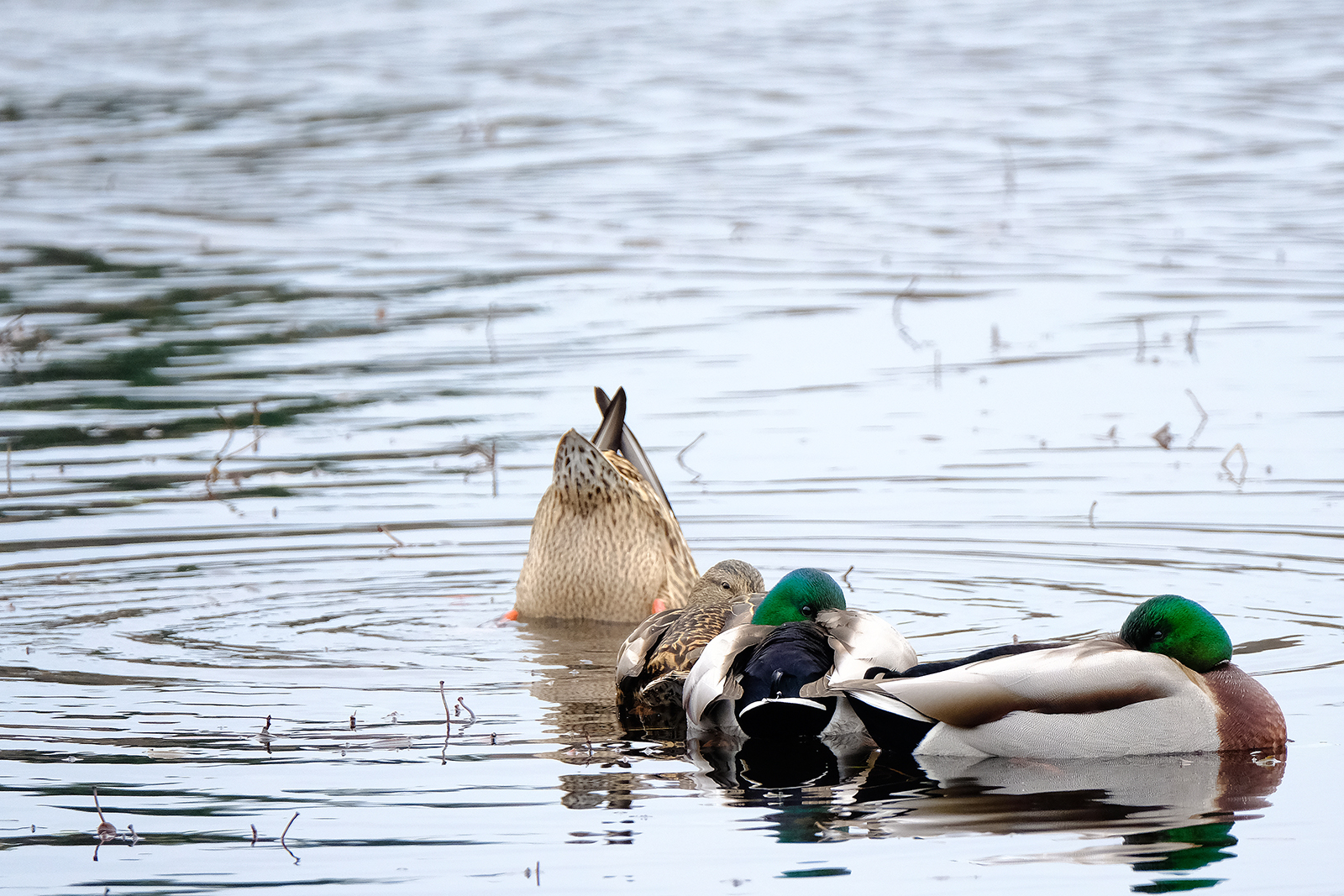 two female and two male mallard ducks on a pond