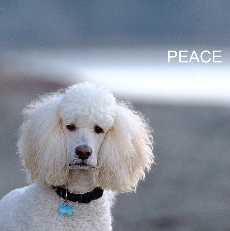 cream coloured standard poodle on a beach